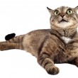 Tabby cat looking up on a white background. — Stock Photo #50319037
