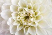 Dahlia flower close-up. — Stok fotoğraf