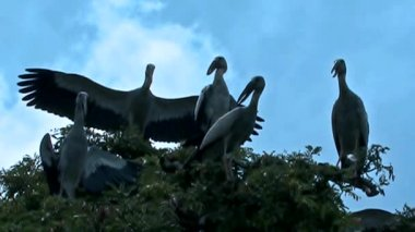 Migratory Siberian Crane3 — Stock Video