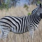 African zebra — Stock Photo #47877533