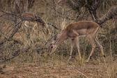 African antelope — Stock Photo