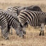 African zebra — Stock Photo #47880769
