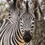 African zebra — Stock Photo #47881187