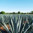 Tequila Landscape — Stock Photo #45517807