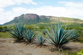 Tequila Landscape — Stock Photo