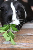 Black and White Guineapig. — Stockfoto