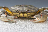Crab, macro, crustacean, claw, seafood, food, fresh, studio — Foto Stock