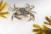 Crab, crustacean, claw, seafood, food, one animal, studio — Stock Photo