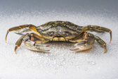 Crab, isolated, modern, crustacean, claw, seafood, food, studio, — Foto de Stock