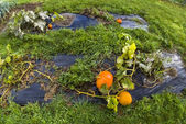 Pumpkin, vegetable garden, tarpaulin, orange, stem, homegrown produce — Stockfoto