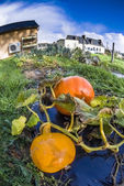 Pumpkin, vegetable garden, tarpaulin, organic, orange, stem, homegrown produce, house, car — Stock Photo