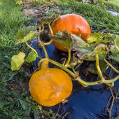 Pumpkin, vegetable garden, tarpaulin, stem, orange, homegrown produce — Stock fotografie