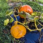 Pumpkin, vegetable garden, tarpaulin, stem, orange, homegrown produce — Zdjęcie stockowe