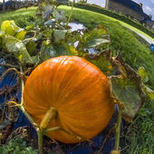 Pumpkin, vegetable garden, tarpaulin, orange, stem, homegrown produce — Photo