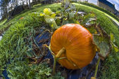 Pumpkin, vegetable garden, tarpaulin, orange, stem, grass, homegrown produce, fisheye — ストック写真