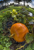 Pumpkin, vegetable garden, tarpaulin, orange, stem, grass, homegrown produce, fisheye — Stock Photo