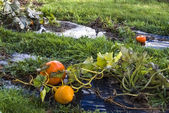 Pumpkin, vegetable garden, tarpaulin, orange, stem, grass, homeg — ストック写真