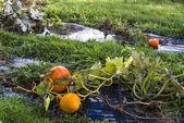 Pumpkin, vegetable garden, tarpaulin, orange, stem, grass, homeg — Zdjęcie stockowe