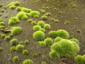 Moss clusters on the rock — Stock Photo