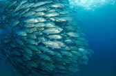 Trevally school — Stock Photo
