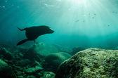 Californian Sea Lion — Stock Photo