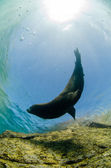 Californian Sea Lion — Stock Photo