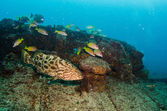 Groupers from the sea of cortez — Foto Stock