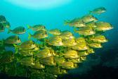 Porkfish panamica. — Foto de Stock