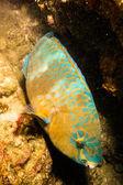 Рыба-попугай — Стоковое фото
