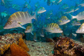 Schools of grunts and snapper from the Sea of Cortez — Stock Photo