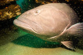 Groupers from the sea of cortez — Stock Photo
