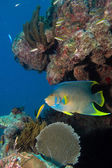 Angelfish from the caribbean reefs. — Stock Photo