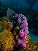 Sponges from the caribbean reefs. — Stock Photo