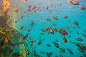 School of grunts in reefs — Stock Photo
