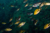 School of grunts in reefs — Stock Photo