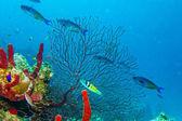 Subacquea mar dei caraibi — Foto Stock