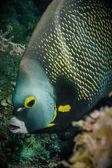 Pez ángel de los arrecifes del Caribe. — Foto de Stock
