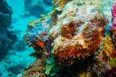 Scorpion Fish — Stock Photo