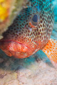 Grouper from caribbean reefs — Stock Photo