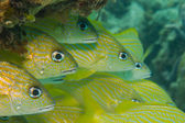 Grunts from the caribbean reefs. — Stock Photo