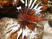 Invasive lionfish — Stock Photo