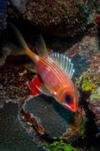 Squirrelfish — Foto de Stock