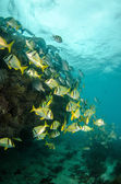 Caribbean porkfish — Stock Photo