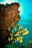 Porkfish dei Caraibi — Foto Stock