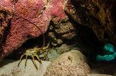 Caribbean Lobster — Stock Photo