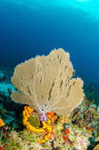 Gorgonian from caribbean reefs — Stock Photo