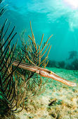 Caribbean trumpetfish — Stock Photo