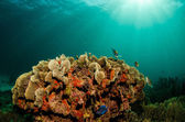 Caribbean coral reef. — Stock Photo