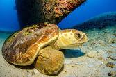 Loggerhead turtle — Stock Photo