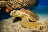 Loggerhead turtle — Stock Photo